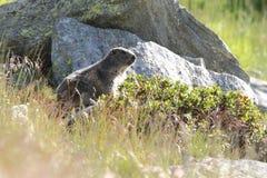 Alpine marmot Royalty Free Stock Photography