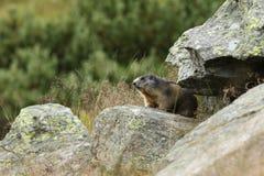 Alpine marmot Stock Images