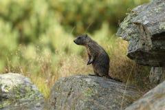Alpine marmot Stock Image