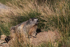 Alpine marmot Royalty Free Stock Photos