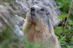 Alpine marmot Royalty Free Stock Image