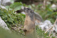 Alpine marmot. On the italian alps Royalty Free Stock Photo