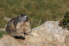 Alpine marmot. On the italian alps Stock Image