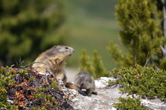 Alpine marmot and its young Royalty Free Stock Photo