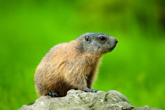 Alpine Marmot (lat. Marmota marmota). Sitting on a rock with green out of focus background Royalty Free Stock Photography