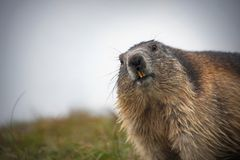 Alpine marmot looking in the camera. Großglockner Austria royalty free stock photography