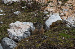 Alpine marmot looking at the observer, dolomites, south tyrol, italy Royalty Free Stock Image