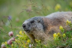 Alpine marmot lying in a meadow between yellow rattleweed and red clover royalty free stock image