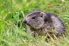 The alpine marmot Marmota marmota Stock Photo