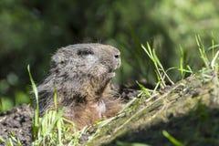 Alpine marmot. Marmota marmota on the ground Royalty Free Stock Photography