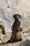 Alpine marmot Marmota marmota latirostris on the rock. In mountainous area Royalty Free Stock Photo