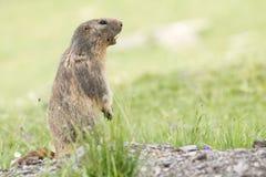 Alpine Marmot - Marmota Marmota. Alpine Marmot in the grass - Marmota Marmota stock photography