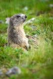 Alpine Marmot - Marmota Marmota. Alpine Marmot in the grass - Marmota Marmota Stock Photos