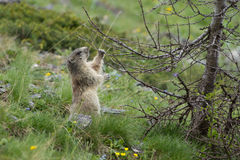 Alpine Marmot - Marmota Marmota. Alpine Marmot in the grass - Marmota Marmota Stock Photo