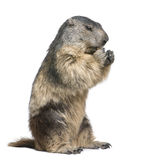 Alpine Marmot - Marmota marmota (4 years old). In front of a white background Royalty Free Stock Image