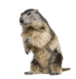 Alpine Marmot - Marmota marmota (4 years old). In front of a white background Royalty Free Stock Photos