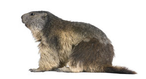Free Alpine Marmot - Marmota Marmota (4 Years Old) Stock Photo - 9536360