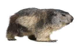 Alpine Marmot - Marmota marmota (4 years old) stock photo