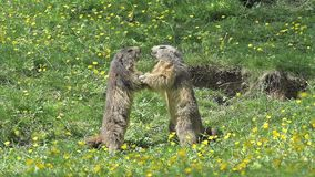 Alpine Marmot, marmota marmota, Adults playing or Fighting, France,