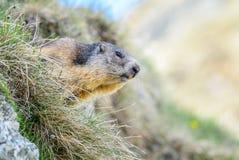 Alpine Marmot - Marmota marmota, Alps, Austria. Alpine Marmot in Austrian Alp meadow stock image