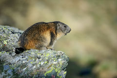 Alpine Marmot - Marmota marmota, Alps, Austria. Alpine Marmot in Austrian Alp sitting on the rock Royalty Free Stock Photo