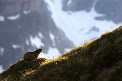 Alpine Marmot - Marmota marmota, Alps, Austria. Alpine Marmot in Austrian Alpsevening light Stock Photos