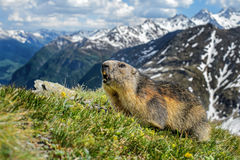 Alpine Marmot - Marmota marmota, Alps, Austria. Alpine Marmot with Austrian Alps background Stock Photography