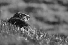 Alpine Marmot - Marmota marmota, Alps, Austria. Alpine Marmot in Austrian Alps in black and white Royalty Free Stock Photos