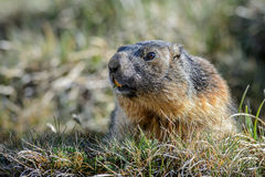 Alpine Marmot - Marmota marmota, Alps, Austria. Alpine Marmot in Austrian Alps meadow Royalty Free Stock Photo