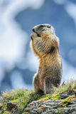 Alpine Marmot - Marmota marmota, Alps, Austria. Alpine Marmot in Austrian Alps, typical pose Royalty Free Stock Photos