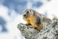 Alpine Marmot - Marmota marmota, Alps, Austria. Alpine Marmot in Austrian Alps watching our from the rock Stock Images