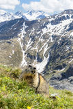Alpine Marmot - Marmota marmota, Alps, Austria. Alpine Marmot with beautiful Austria Alps in background Stock Image