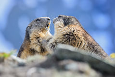Alpine Marmot - Marmota marmota, Alps, Austria. Alpine Marmots fighting in Austrian Alps Royalty Free Stock Image