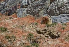 Marmot collecting pine needles. Alpine Marmot (Marmota marmota) carrying brown pine needles in its mouth royalty free stock photography