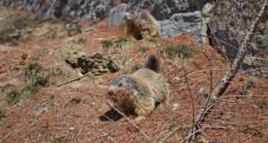 Marmot collecting pine needles. Alpine Marmot (Marmota marmota) carrying brown pine needles in its mouth stock photography