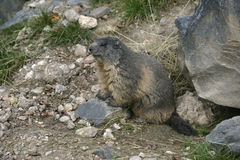 Alpine marmot, Marmota marmota. In  France Royalty Free Stock Images
