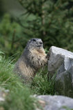Alpine marmot, Marmota marmota Stock Photos