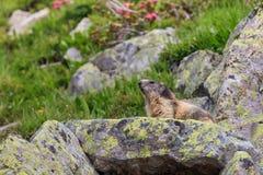 Alpine marmot Marmota marmota in the French Alps Royalty Free Stock Photos