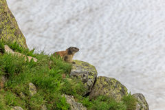 Alpine marmot Marmota marmota in the French Alps. Alpine marmot Marmota marmota in grass. French Alps Royalty Free Stock Photography