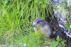 Alpine marmot Marmota marmota. In the Gasteiner valley in the austrian alps Stock Image