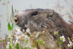 The alpine marmot (Marmota marmota) on grass Royalty Free Stock Photography