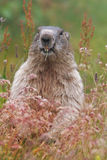 The alpine marmot (Marmota marmota) on grass Stock Image