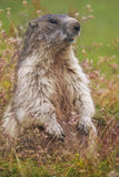 The alpine marmot (Marmota marmota) on grass Royalty Free Stock Images