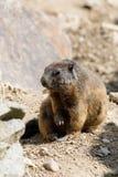 Alpine marmot Marmota marmota latirostris on the rock Royalty Free Stock Image