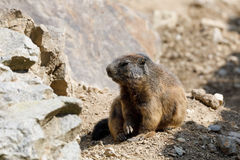 Alpine marmot Marmota marmota latirostris on the rock. In mountainous area Royalty Free Stock Images