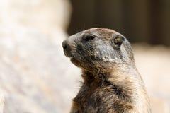Alpine marmot Marmota marmota latirostris on the rock Royalty Free Stock Photography