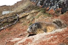 Marmot collecting pine needles. Alpine Marmot (Marmota marmota) looking out of burrow carrying brown pine needles in its mouth royalty free stock images