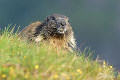 The alpine marmot Marmota marmota on the. Alpine meadow elightened by afternoon sunlights wth detached background Royalty Free Stock Photos