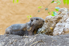 Alpine marmot (Marmota marmota) Royalty Free Stock Images