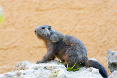 Alpine marmot (Marmota marmota) Stock Photos